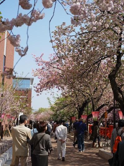 造幣局の桜0.jpg