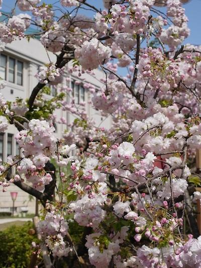 造幣局の桜1.jpg