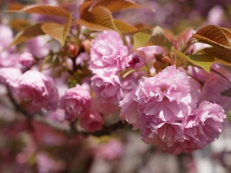 造幣局の桜2.jpg