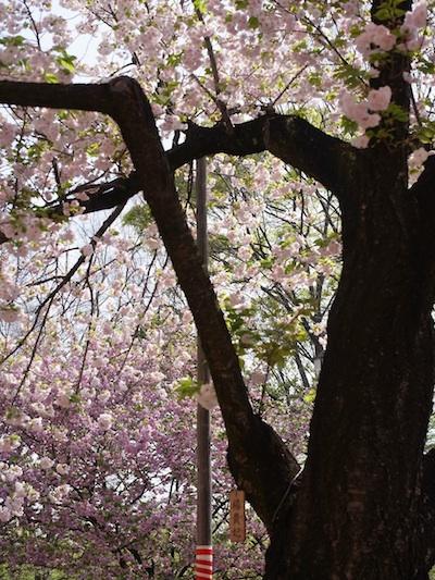 造幣局の桜3.jpg